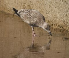 Young Herring Seagull 2 by BlueFireVixon