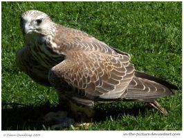 Gyr Saker Hybrid Falcon by In-the-picture