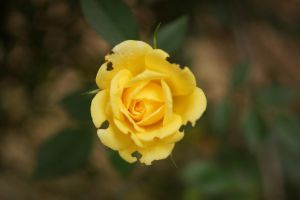 Yellow Rose by bowtiephotography