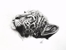 Young Leopard by salt25