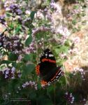Red Admiral by DuchesseOfDusk