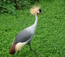 Crowned Crane by Helens-Serendipity
