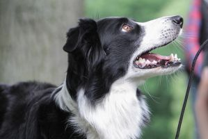 Border Collie Watching her Owner by LuDa-Stock