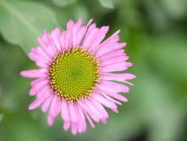 Pink Daisy. by asaluiphotography