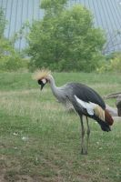 Grey necked crowned crane by asaph70