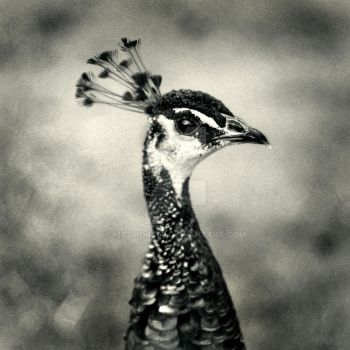 Peacock: by Madhorse5