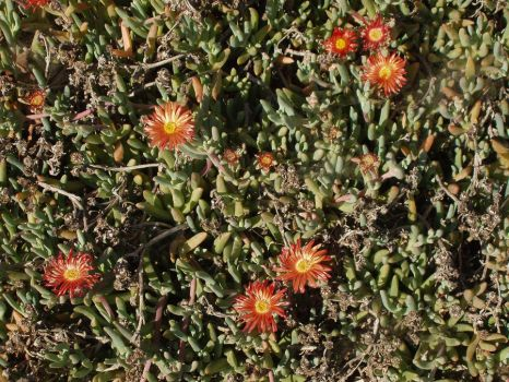 Flower Ice Plants for background by one-tough-one