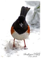 Eastern Towhee by sunflowervlg