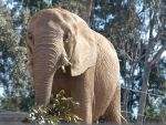 African Elephant munching by photographyflower