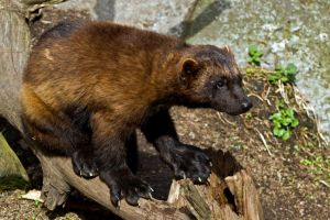 Paws of the Wolverine by attomanen