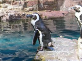 African Penguin Stock 4329 by sUpErWoLf--StOcK