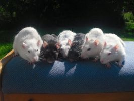 Group picture of my rats :D by LisaratLover