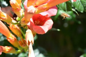 Bee, Hover By the Trumpet Flower 2 by Miss-Tbones
