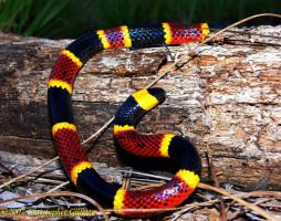 Coral Snake by Manaconda-Chris