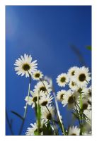 Dasies by TheOne85Ca