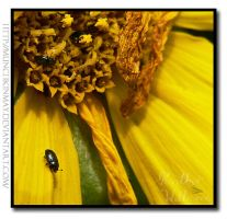 Little Sunflower beetle by Munchkinmay