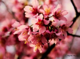 Sakura II by MyLifeThroughTheLens