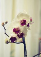 orchid by Katari01
