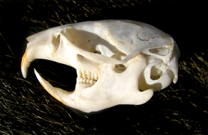 Vole Skull by FossilFeather