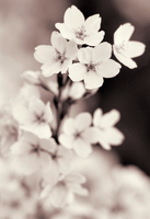 Cherry Flowers in Monochrome by h3llfireSS