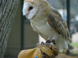 Barn owl 5 by CRStock