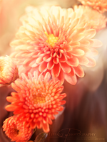 Chrysanthemum by selinmarsou