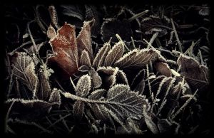 Frozen leaves by Skycode