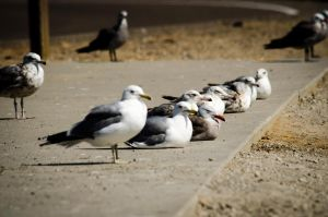West Gull Gang by KevinMcNeff