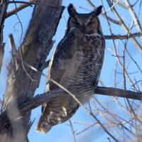 Great Horned Owl by DragonDrawer147