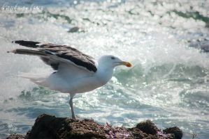 Seagull by BambisLogic