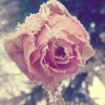 Frozen Rose by ShallowMe