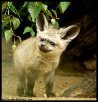 bat-eared baby by morho