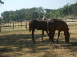 American Quater Foals by Baskia