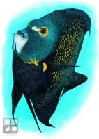 French Angelfish by rogerdhall