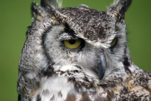 Great Horned Owl - not looking by Steve-FraserUK