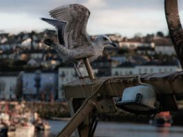 Seagull waits by Niallof9