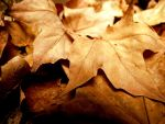 Golden Leaves of Fall by tracy-Me