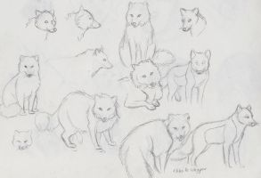 Arctic Fox sketches by Snow-Moon