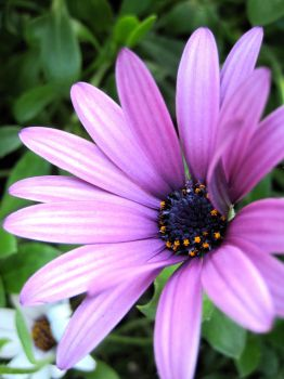 Purple Daisy by kristenfin95