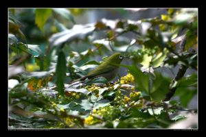 White-eye in the Park 4 by Keith-Killer