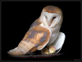 Barn Owl 2 by cycoze