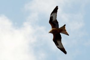 Red Kite In Flight by FurLined