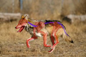 Mexican Wolf Redline by wolfsouled
