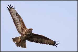 Buteo buteo by nitsch