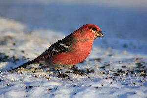 Pine Grosbeak by Sagittor