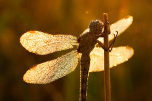 Dragonfly and dawn's sunbeams by padika11