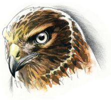 Northern Harrier study by RobertMancini