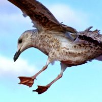 Seagull: Close Up by ronsdeviations