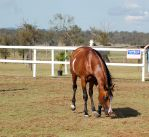 TW Arab pinto head down front by Chunga-Stock