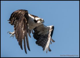Osprey Flight by AirshowDave